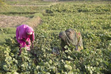 Two people picking crops in field