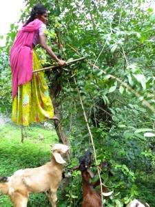 woman in tree with goat standing nearby